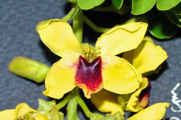 Flor del árbol Caesalpina Echinata - Sputnik Mundo