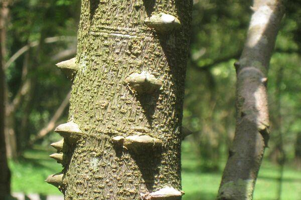 Tronco del árbol Caesalpina Echinata - Sputnik Mundo