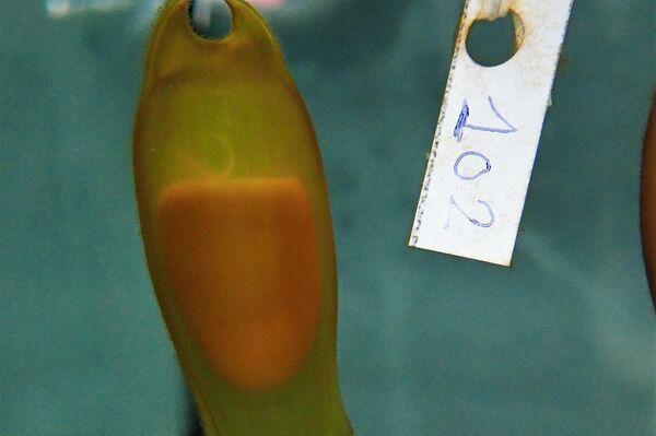 Un ejemplar de tiburón criado en pecera por Cayume, una asociación de Mallorca - Sputnik Mundo