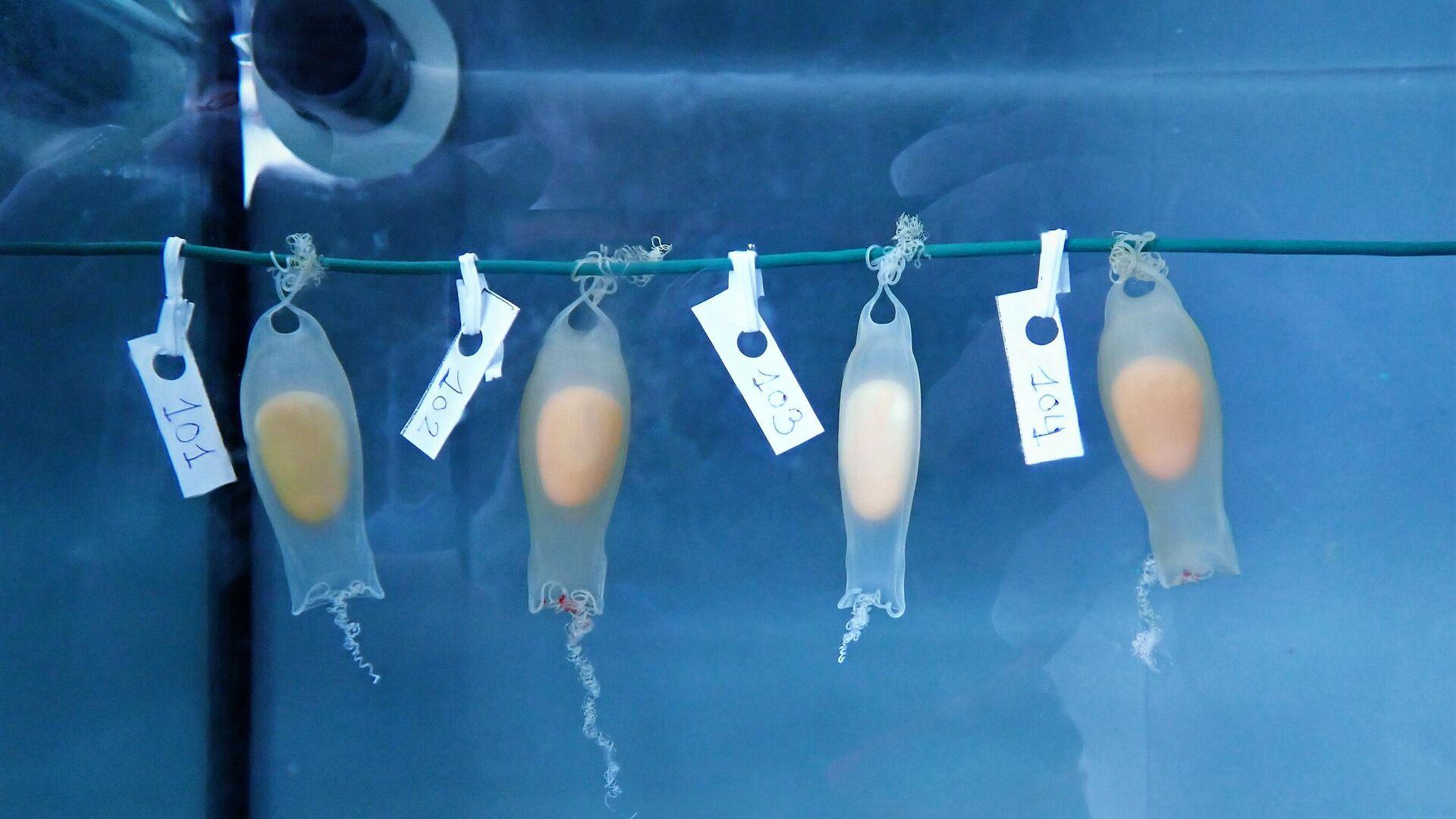 Varios ejemplares de tiburón criados en pecera por Cayume, una asociación de Mallorca - Sputnik Mundo, 1920, 07.05.2021
