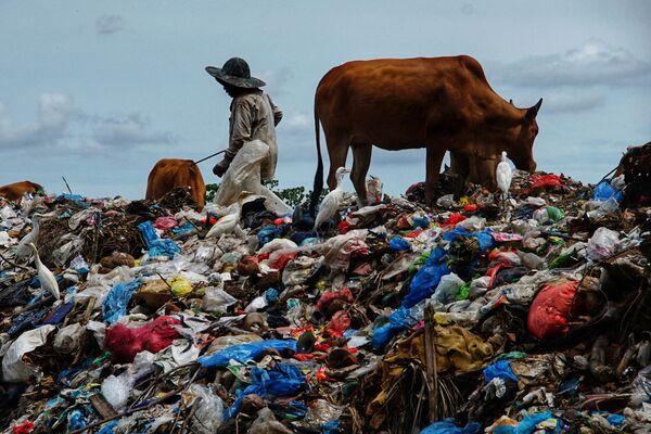 Un pastor con unas vacas en un vertedero dejado por la festividad del Eid-al-Fitr en la provincia de Aceh (Indonesia). - Sputnik Mundo