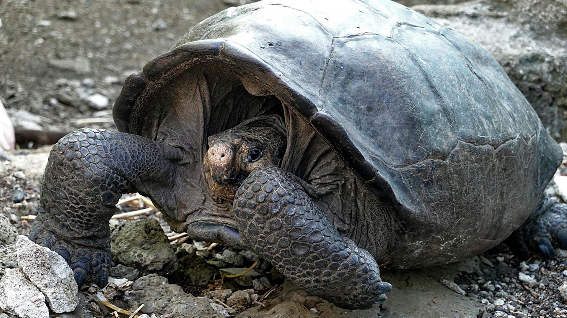 Una tortuga Chelonoidis phantasticus en el Parque Nacional Galápagos - Sputnik Mundo, 1920, 26.05.2021