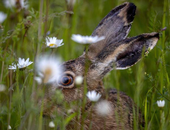 Una liebre en un campo en las afueras de Fráncfort, Alemania. - Sputnik Mundo
