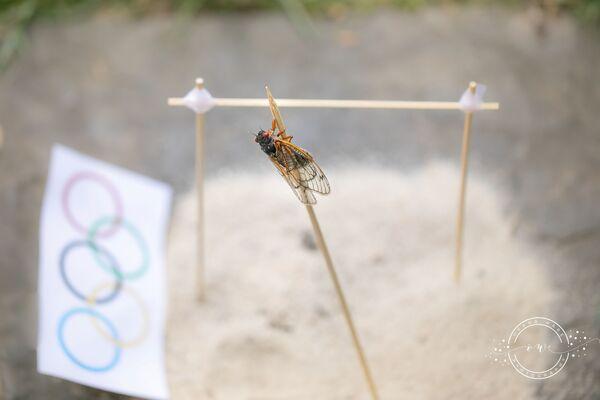 Las larvas de los cicádidos periódicos viven debajo de la tierra, a unos 30 centímetros de profundidad, y se alimentan de la savia de las raíces de las plantas. Los adultos viven hasta julio. Los machos mueren inmediatamente después del apareamiento, y las hembras tras poner sus huevos.En la foto: un cicádido salta con pértiga. - Sputnik Mundo
