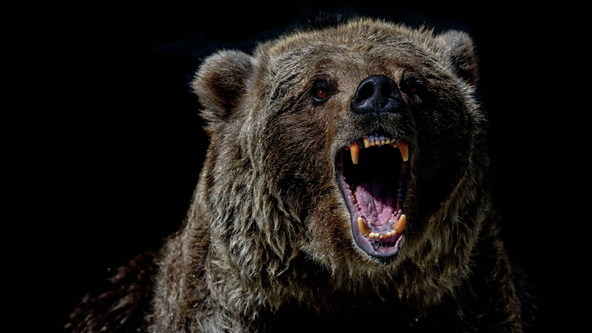 Un oso, imagen referencial - Sputnik Mundo, 1920, 01.06.2021