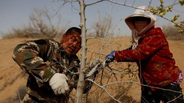 53-летний Ван Иньцзи и его жена Цзинь Юйсю подрезают дерево, посаженное на краю пустыни Гоби на окраине Увэй, провинция Ганьсу, Китай - Sputnik Mundo