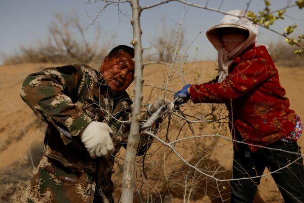 Los expertos afirman que la labor de reforestación de China se ha vuelto más sofisticada a lo largo de los años, ya que el Gobierno se beneficia de décadas de experiencia y es capaz de movilizar a miles de voluntarios para plantar árboles. En la foto: unos lugareños cortan un árbol plantado en el borde del desierto de Gobi, en la provincia de Gansu.  - Sputnik Mundo