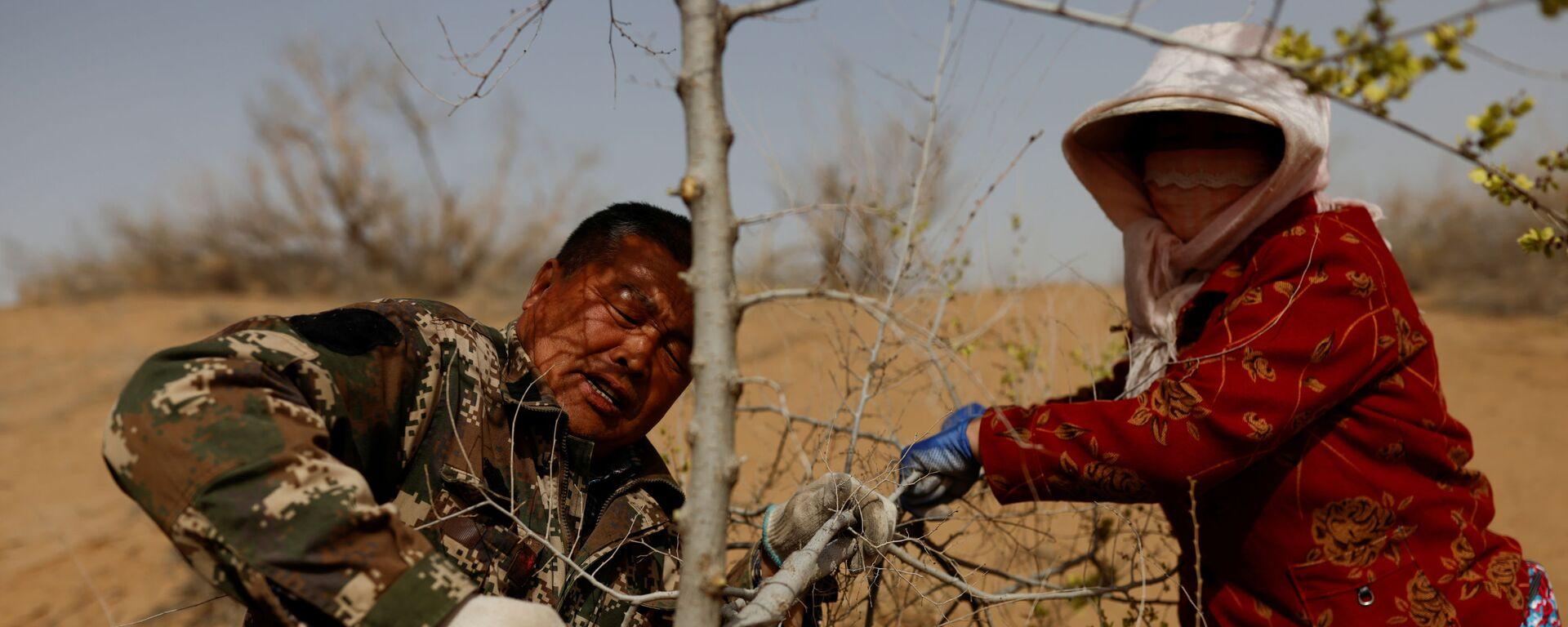 Los lugareños cortan un árbol plantado en el borde del desierto de Gobi, en la provincia de Gansu.  - Sputnik Mundo, 1920, 04.06.2021