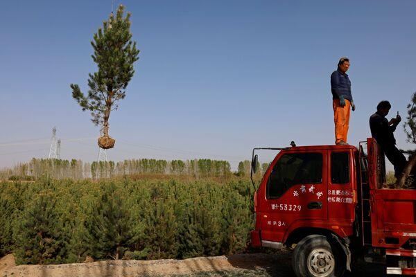 El proyecto se inició en la década de 1970. Para 2050, se espera que el bosque artificial cubra 400 millones de hectáreas, es decir, más del 40% del territorio del país. En la foto: transporte de árboles a un lugar de plantación en el borde del desierto de Gobi, en la provincia de Gansu.  - Sputnik Mundo