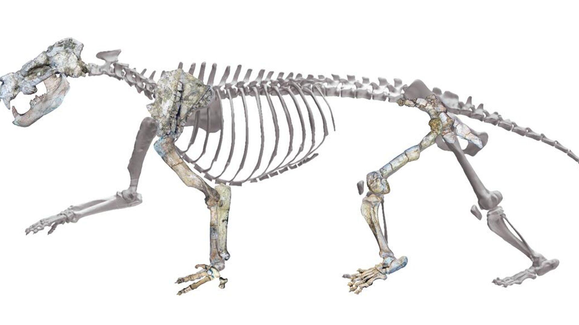 Esqueleto del  'Ammitocyon kainos' - Sputnik Mundo, 1920, 03.06.2021