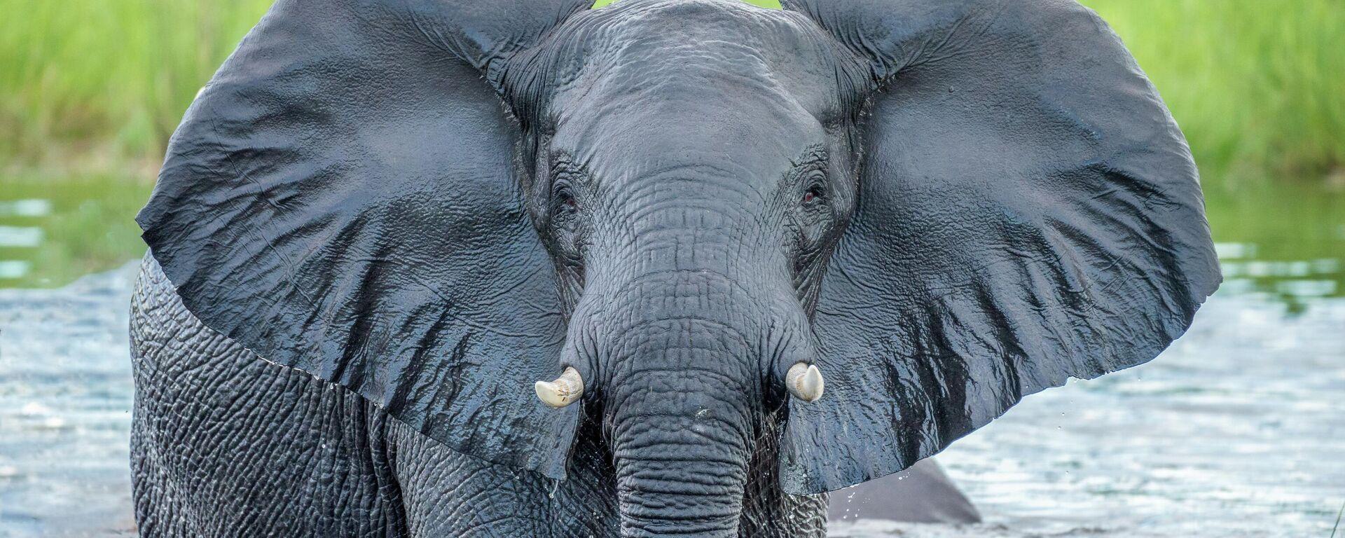 Un elefante - Sputnik Mundo, 1920, 03.06.2021