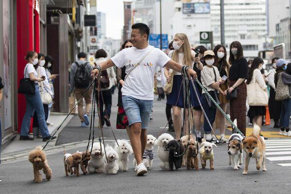 Un paseador de perros profesional lleva a las mascotas de sus clientes por una calle en Tokio (Japón). - Sputnik Mundo