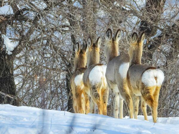 Las orejitas erguidas de unos corzos, registradas por Yaroslava Merkulova, ganó en la categoría infantil mundo animal. - Sputnik Mundo