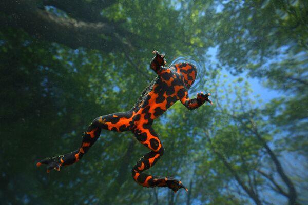 Iván Naumenko se llevó el premio máximo en la categoría Animales salvajes con Gravedad cero. La foto tomada desde dentro del agua muestra la inesperadamente colorida parte inferior del cuerpo de una rana verde ordinaria. - Sputnik Mundo