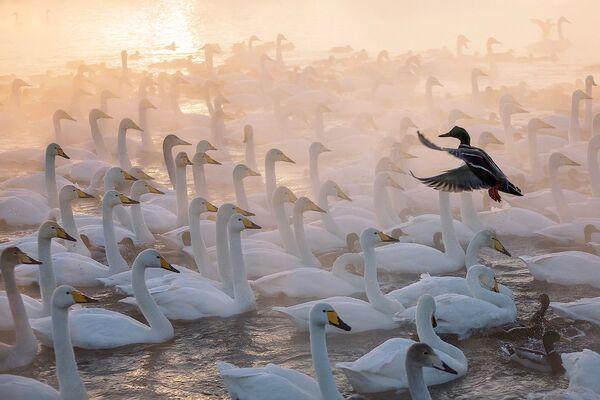 En la obra Director de orquesta, Evgueni Mazurin registró una típica y helada mañana de febrero en el lago Svetloe, en Altái, conocido popularmente como el lago de los cisnes. Un ánade real intruso dio un tono gracioso a la foto y le rindió al fotógrafo el premio en la categoría estos animales divertidos. - Sputnik Mundo