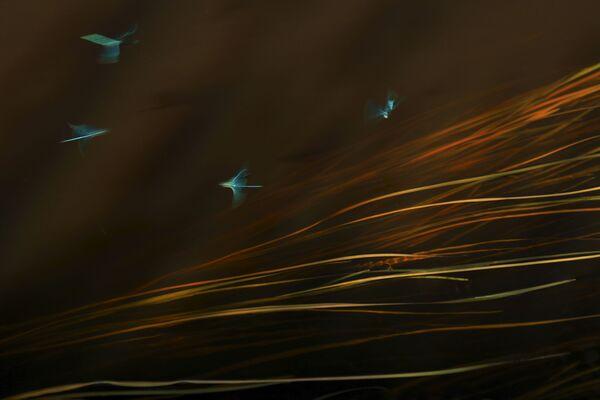 La fotógrafa Svetlana Ivanenko registró el hermoso baile que hacen las libélulas macho para conquistar a las hembras. Bailando sobre el agua ganó en la categoría Arte de la vida silvestre. - Sputnik Mundo