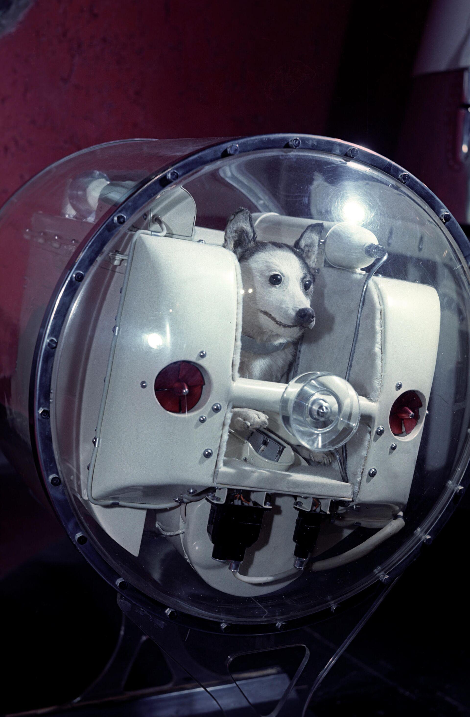 La perra Laika dentro de uno de los primeros satélites soviéticos (maqueta) - Sputnik Mundo, 1920, 06.06.2021