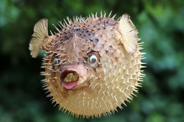 Los peces globo o 'Tetraodontidae' son, quizás, los seres vivos más venenosos de los océanos. Su capacidad para inflar el cuerpo cuando se sienten amenazados y convertirlo en un globo con pequeñas púas es su característica principal. Habitan en los trópicos y en las regiones templadas. En Japón es muy popular por la elaboración del fugu, un plato tradicional japonés elaborado con varios tipos de peces globo. - Sputnik Mundo