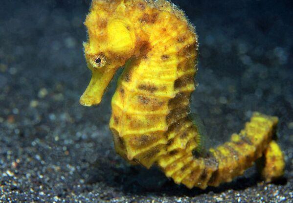 El caballito de mar o 'Hippocampus' recibe su nombre de su semejanza con la pieza del caballo en el ajedrez. Mide entre cuatro y 25 centímetros. Se diferencia del resto de peces en que se desplaza en vertical y erguido mientras mantiene la cola hacia abajo. - Sputnik Mundo