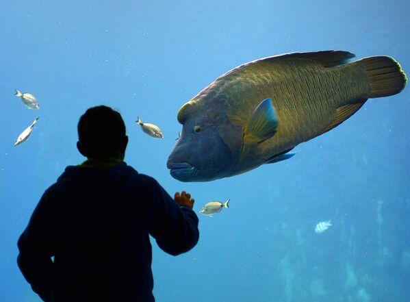El pez Napoleón ('Cheilinus undulatus') habita los arrecifes de coral del mar Rojo y las regiones tropicales del Índico y del Pacífico. Puede llegar a medir 230 metros de longitud y pesar 190 kilos. Su nombre se debe a la forma triangular de su cabeza, que recuerda al sombrero del histórico militar francés.  - Sputnik Mundo