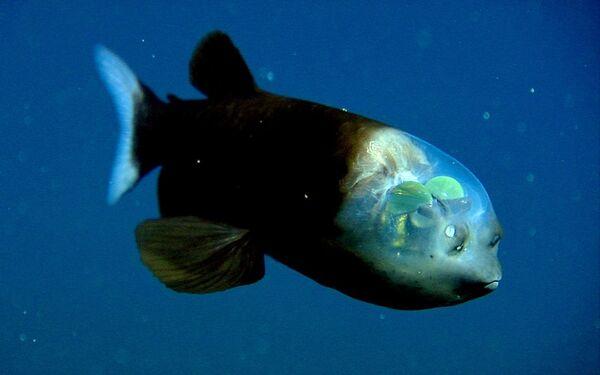 El pez cabeza transparente o 'Macropinna microstoma' es uno de los habitantes más misteriosos del mar, y fue avistado por primera vez en 1939. Este pez, de no más de 15 cm de longitud, vive a profundidades de entre 500 y 1000 metros en el Pacífico Norte. Lo más inusual de su aspecto son los ojos, de un verde brillante y protegidos por un tejido transparente y elástico, de modo que su cabeza se asemeja a una cúpula transparente. - Sputnik Mundo