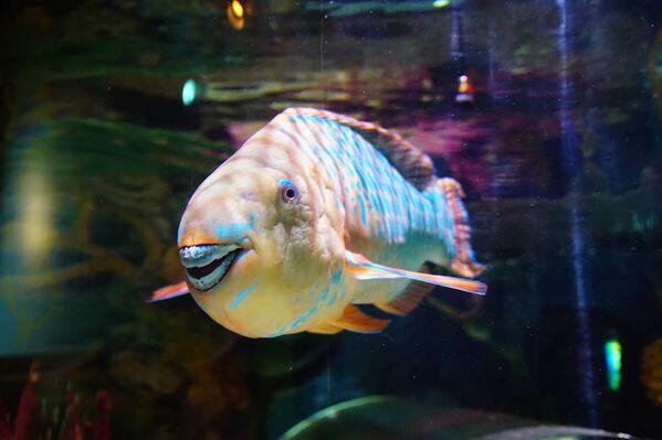 Los peces loro o 'Scaridae' son de vistosos colores y habitan en los arrecifes de coral del Pacífico y del Índico. Su nombre se debe a su mandíbula, que se parece a pico de un loro. Algunas especies tienen incluso dientes externos, lo que supone un peligro para los nadadores despistados. Pueden tener hasta 1,3 m de longitud. - Sputnik Mundo