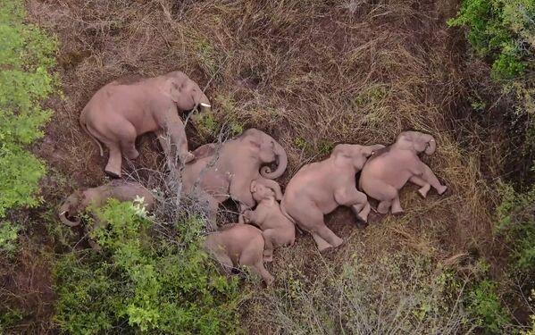 Varios elefantes toman un descanso en un bosque de la provincia china de Yunnan. - Sputnik Mundo