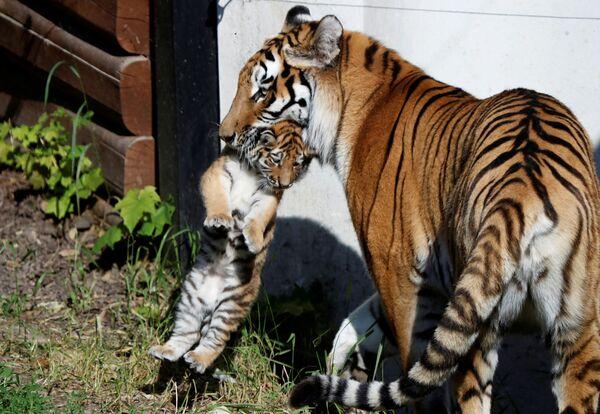 Una tigresa siberiana con su cachorro recién nacido en un zoo de Polonia. - Sputnik Mundo