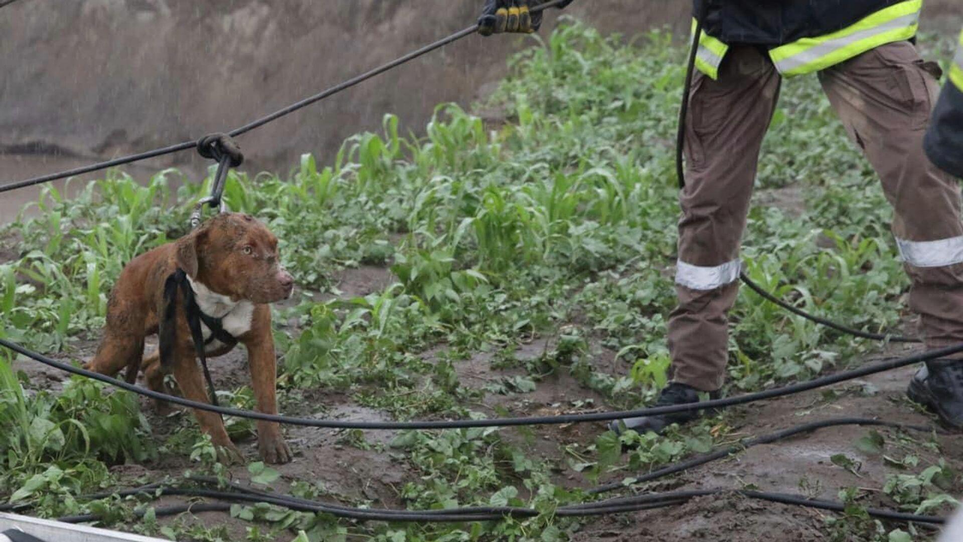 Un perro rescatado en un socavón en Puebla, México - Sputnik Mundo, 1920, 11.06.2021