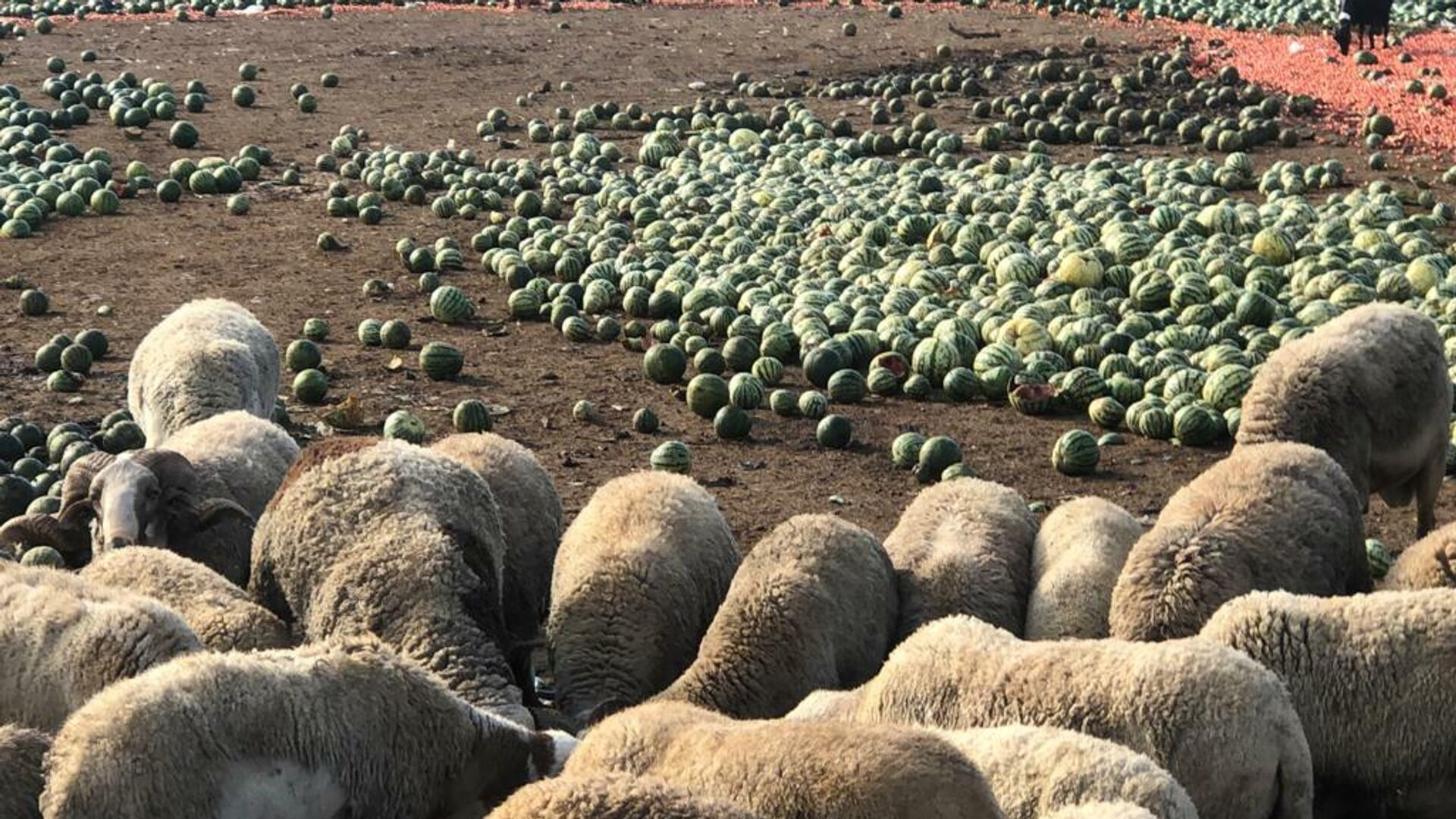 Sandías para las ovejas por precio ruinoso - Sputnik Mundo, 1920, 17.06.2021