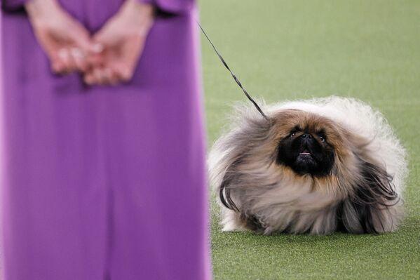 Este perrito de raza pequinés es el ganador de la exposición canina anual del Westminster Kennel Club en Tarrytown, Nueva York, Estados Unidos. - Sputnik Mundo