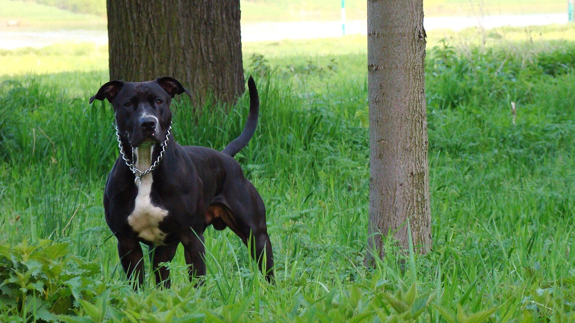 Perro de raza American Staffordshire Terrier - Sputnik Mundo, 1920, 18.06.2021