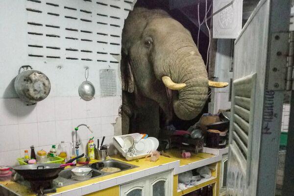 Un elefante hambriento irrumpió en la cocina de una casa de la localidad tailandesa de Hua Hin en busca de comida. ¡Un robo con allanamiento, literalmente! - Sputnik Mundo