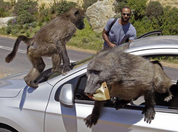 Estos turistas canadienses fueron asaltados por una manada de babuinos durante su viaje a Cape Town (Sudáfrica). - Sputnik Mundo