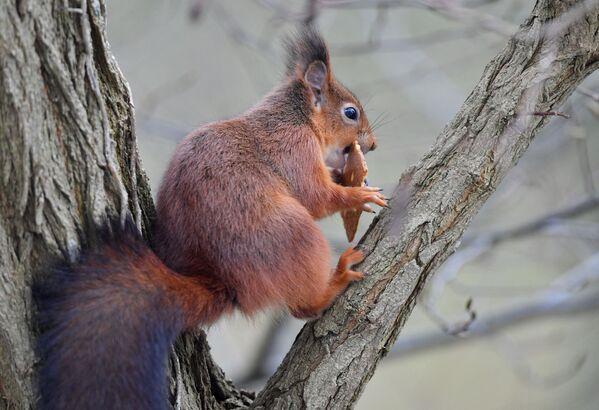 Una ardilla disfruta de una galleta robada en un parque de Bruselas. - Sputnik Mundo