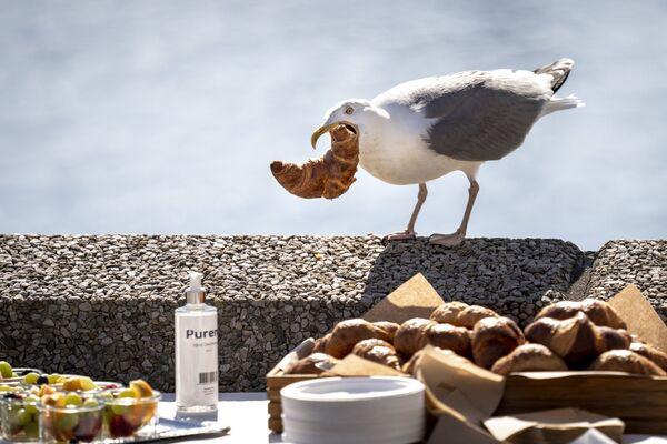 Una gaviota intenta hacerse con un cruasán que no le pertenece en un restaurante en Copenhague, Dinamarca. - Sputnik Mundo