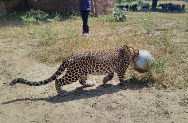 Este pobre leopardo del estado de Rajasthan, en la India, quiso comerse un manjar, pero terminó con la cabeza atascada en una vasija. Nadie se atrevió a ayudarlo por más de cuatro horas. - Sputnik Mundo