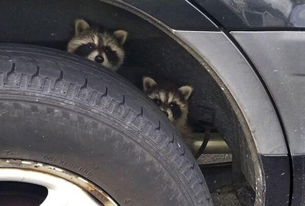 Es obvio que estos divertidos mapaches, que se esconden detrás de las ruedas de un coche en un estacionamiento de Nueva Hampshire (EEUU), están tramando un robo. - Sputnik Mundo