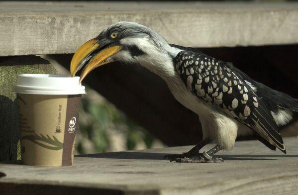 Un cálao 'toma' un café en el zoo de Viena, Austria. - Sputnik Mundo