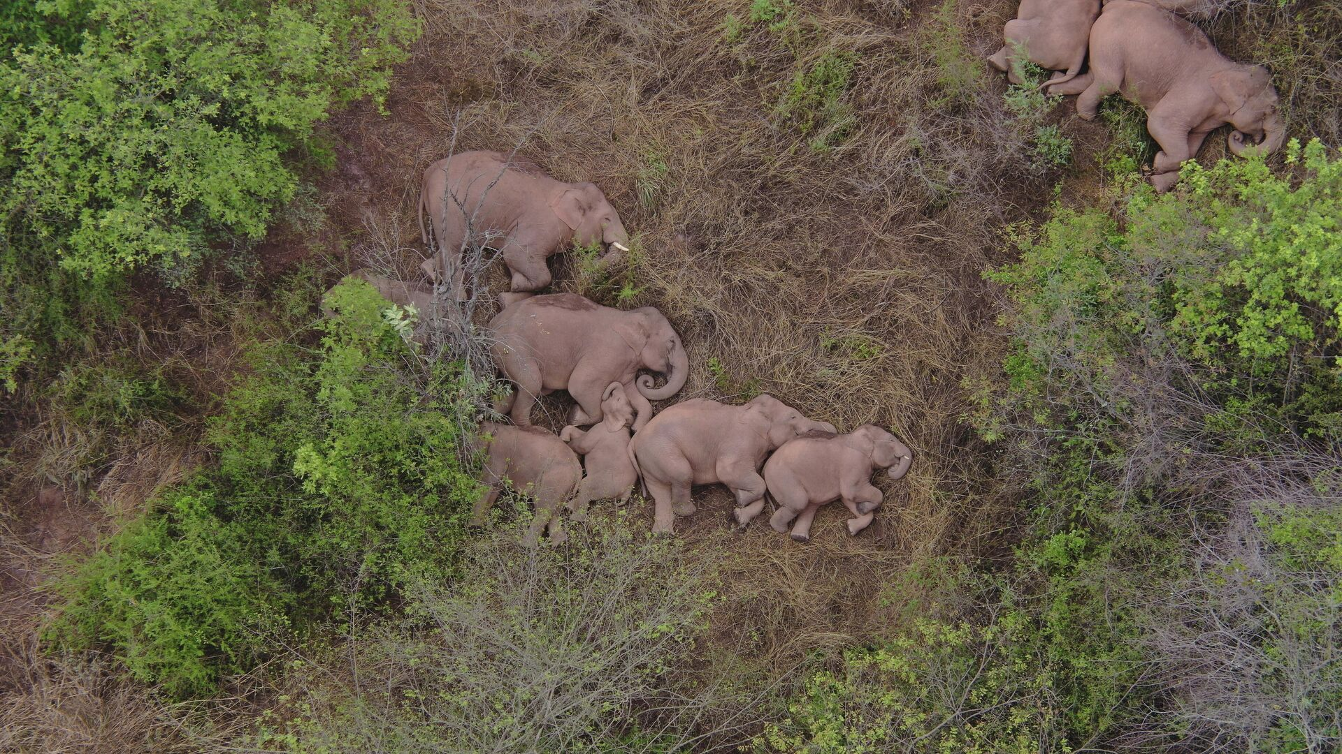 Un grupo de elefantes asiáticos salvajes dormen en el suelo en China - Sputnik Mundo, 1920, 27.06.2021