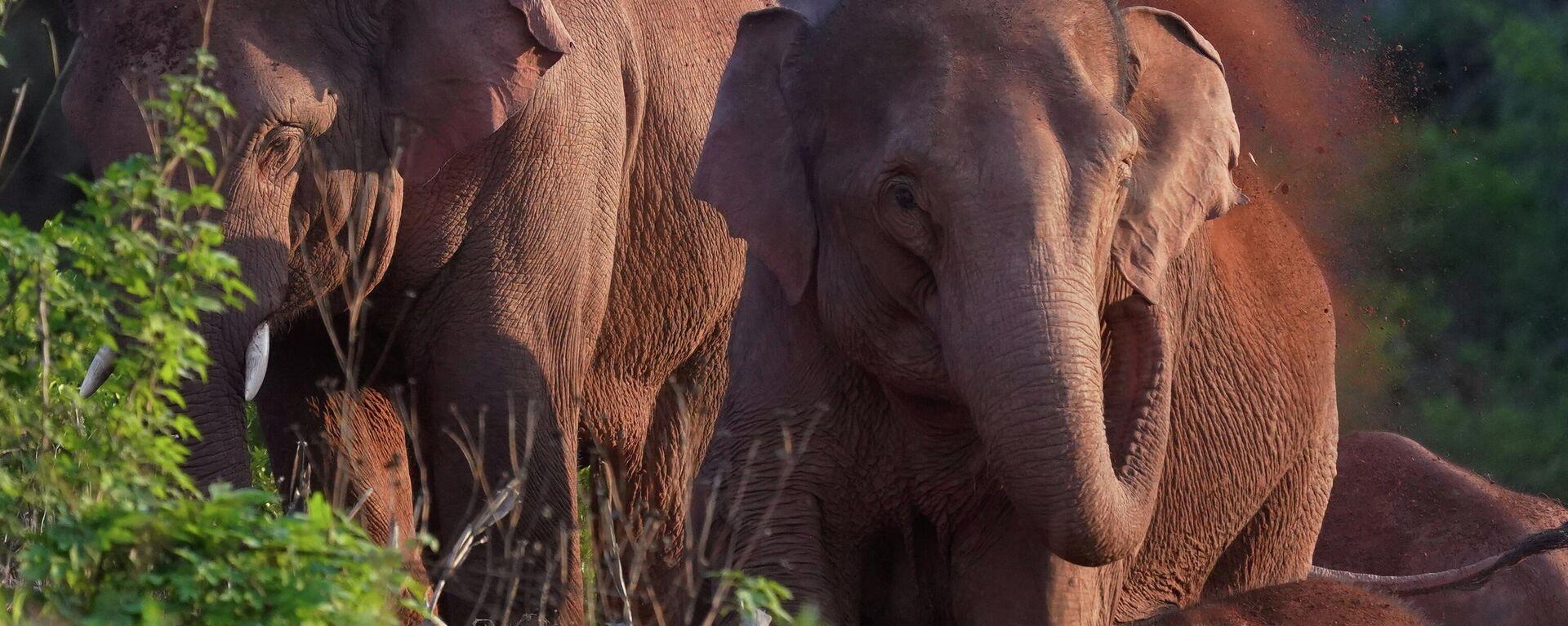 Una manada de elefantes viaja por China - Sputnik Mundo, 1920, 27.06.2021