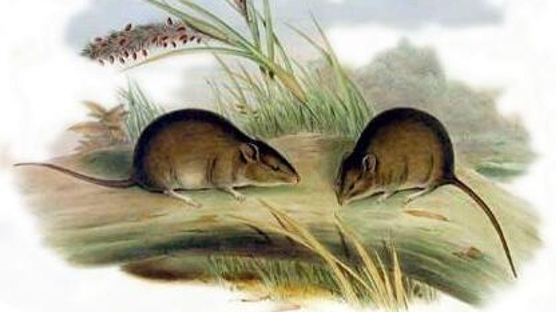 El ratón de Gould (Pseudomys gouldii) - Sputnik Mundo, 1920, 30.06.2021