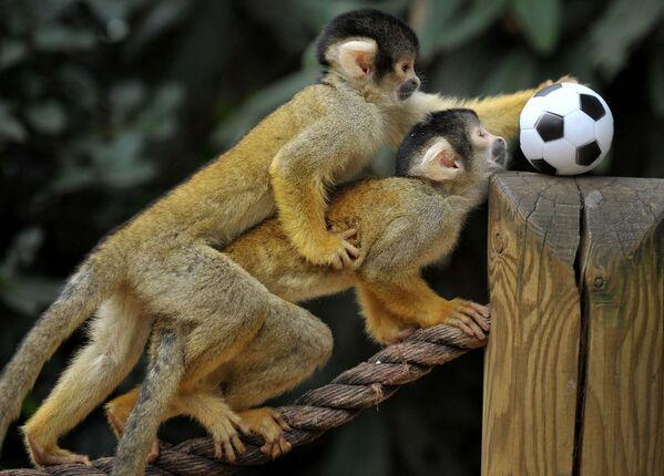 Unos monos ardilla bolivianos juegan al fútbol en el zoológico de Londres. - Sputnik Mundo