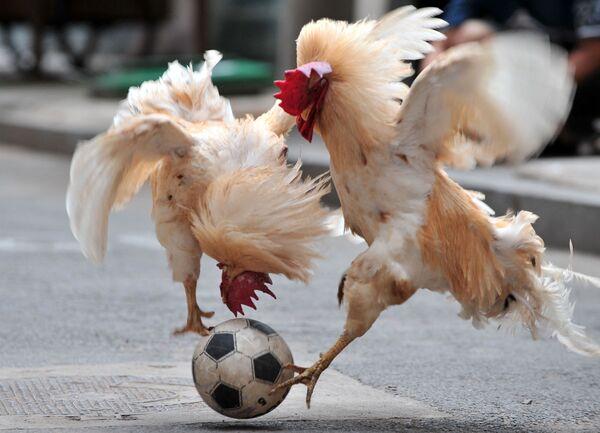Unos gallos futbolistas en Shenyang (China). - Sputnik Mundo