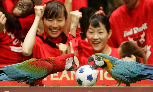 Unos loros juegan al fútbol en el zoológico de Seúl, en Corea del Sur. - Sputnik Mundo