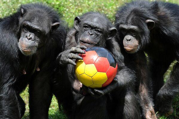 Un 'equipo de fútbol' compuesto por chimpancés en vísperas del Mundial de Fútbol 2010, en Sudáfrica. - Sputnik Mundo