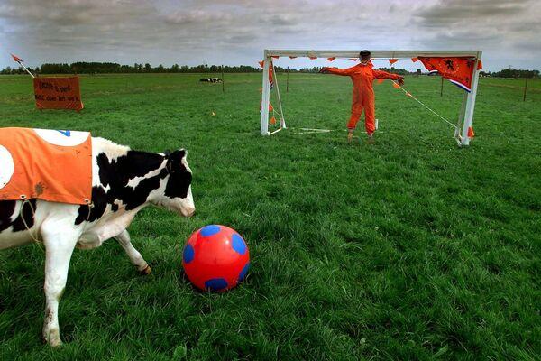 Este granjero neerlandés organizó un partido de fútbol para sus vacas en un campo a las afueras de Baambrugge. - Sputnik Mundo