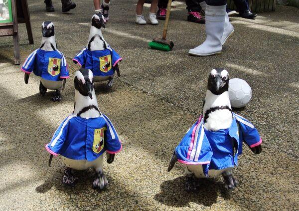 Unos pingüinos vestidos con el uniforme de la selección nacional japonesa en el parque ornitológico Matsue Vogel Park, en Japón. - Sputnik Mundo