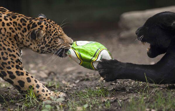 Unos jaguares pelean por un balón en el zoológico de Santa Fe, en Medellín (Colombia). - Sputnik Mundo