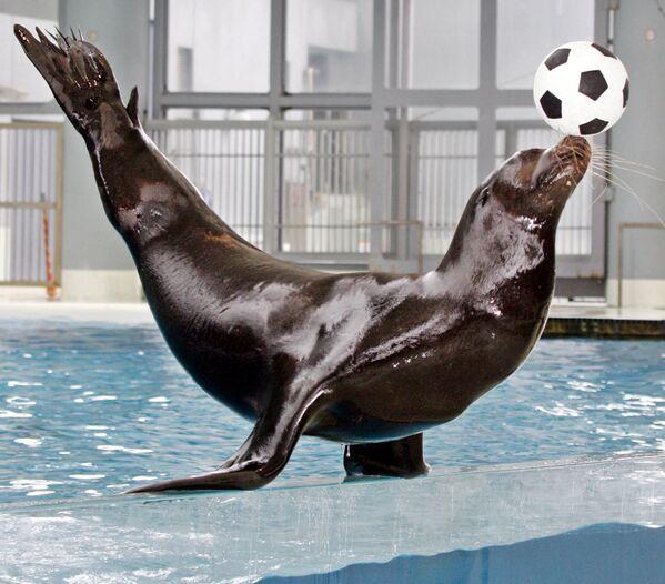 Un león marino muestra un truco con un balón de fútbol en el parque Hakkeijima Sea Paradise, en Japón. - Sputnik Mundo